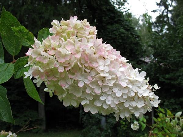 Гортензия ванила стробери
